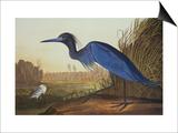 Blue Crane Or Heron Prints by John James Audubon