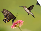 Black Swallowtail Butterfly Feeding On Pink Flower With A Hummingbird Hovering Next To It Posters by Sari ONeal