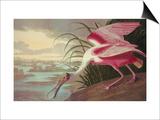 Roseate Spoonbill Prints by John James Audubon