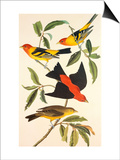Louisiana Tanager, Scarlet Tanager Print by John James Audubon