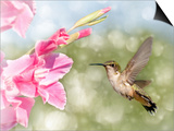 Dreamy Image Of A Ruby-Throated Hummingbird Hovering Next To A Pink Gladiolus Flower Posters by Sari ONeal