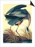 Great Blue Heron Art by John James Audubon