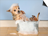 A Chihuahua Taking A Bath Posters by  graphicphoto