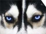 Close Up On Blue Eyes Of A Dog Prints by  melis