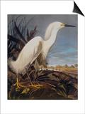 Snowy Heron Or White Egret Posters by John James Audubon