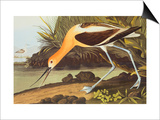 American Avocet Posters by John James Audubon