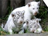 APTOPIX Argentina White Tigers Prints by Eduardo Di Baia