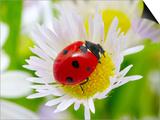 Ladybug Sits On A Flower Petal Prints by  Ale-ks