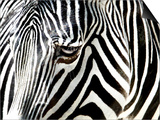 A Zebra at the Frankfurt Zoo Prints