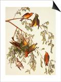American Crossbill Prints by John James Audubon