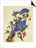 Blue Jay Print by John James Audubon