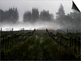 Morning Fog Rises from a Vineyard North of Sonoma, Calif. Poster