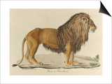 a Barbary Lion Prints