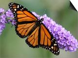 A Monarch Butterfly Spreads its Wings as It Feeds on the Flower of a Butterfly Bush Art