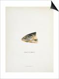 Head Of Smolt. a Fish Head Print by Fraser Sandeman