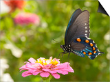 Green Swallowtail Butterfly Feeding On A Pink Zinnia In Sunny Summer Garden Art by Sari ONeal