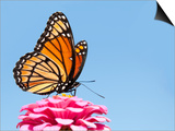 Brilliant Viceroy Butterfly Feeding On A Bright Pink Zinnia Against Blue Skies Print by Sari ONeal