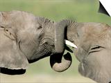 Two Elephant Calves Play, Jan. 4, 2006 in the Amboseli National Park in Kenya Prints