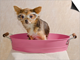 Chihuahua Puppy Taking A Bath Wearing Goggles Sitting In Pink Bathtub Print by  vitalytitov