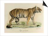 A Female Royal Tiger Posters by C. de Last