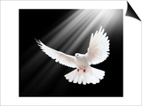 A Free Flying White Dove Isolated On A Black Background Posters par  Irochka