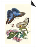 Cardinal's Guard Butterfly with Idomeneus Giant Owl Butterfly Posters by Maria Sibylla Merian