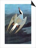 Arctic Tern Affiches par John James Audubon