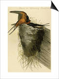 Barn or Chimney Swallow Prints by John James Audubon