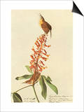 Carolina Wren Affiches par John James Audubon