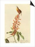 Carolina Wren Prints by John James Audubon