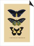 Papilio Urvillianus, Guer Art