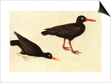 Black Oystercatcher Art by John James Audubon