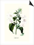 Corfu Lily Kunst von Louis Van Houtte