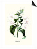 Corfu Lily Prints by Louis Van Houtte