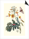 Pride of Barbados with a Tobacco Hornworm Print by Maria Sibylla Merian