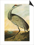 Sandhill Crane Plakaty autor John James Audubon