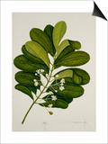 Calophyllum Inophyllum Posters