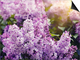 Close-Up Beautiful Lilac Flowers with the Leaves Prints by Leonid Tit