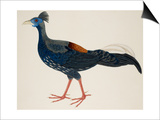 Crested Fireback Pheasant Prints by J. Briois