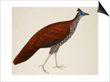 Crested Fireback Pheasant Print by J. Briois