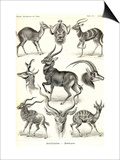 Antilopina Prints by Ernst Haeckel