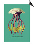 Jellyfish: Leonura Terminalis Prints by Ernst Haeckel