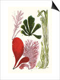 Seaweeds - Common Coralline Plakater af James Sowerby