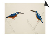 Deep Blue Kingfisher Prints by J. Briois