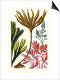 Seaweeds Posters af James Sowerby