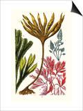 Seaweeds Posters by James Sowerby