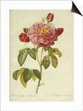 Les Duchess d'Orleans Rose Prints by Pierre-Joseph Redouté