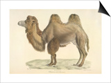 A Bactrian Camel Posters by  Werner