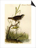 Brown Finch Prints by John James Audubon