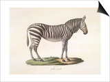 A Female Zebra. Posters